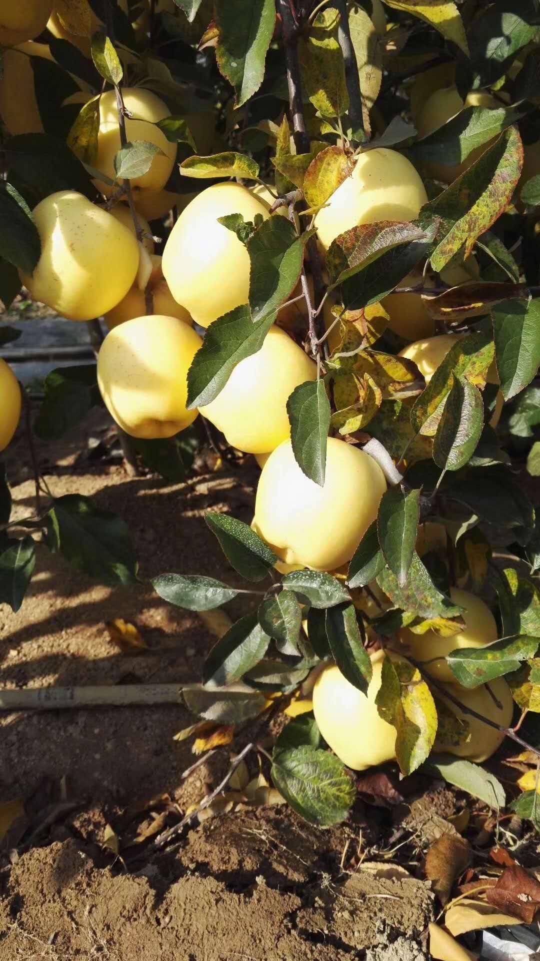 苹果树苗新价格产品质量保证