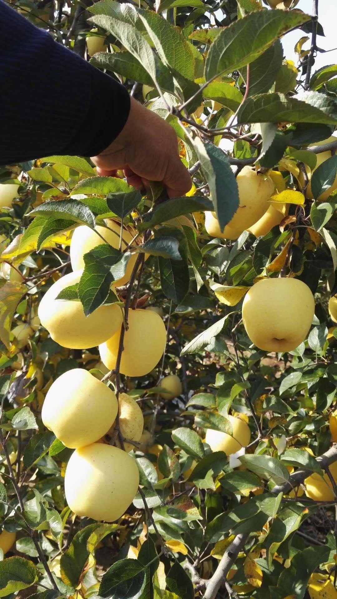 矮化苹果树苗价格表质量优良