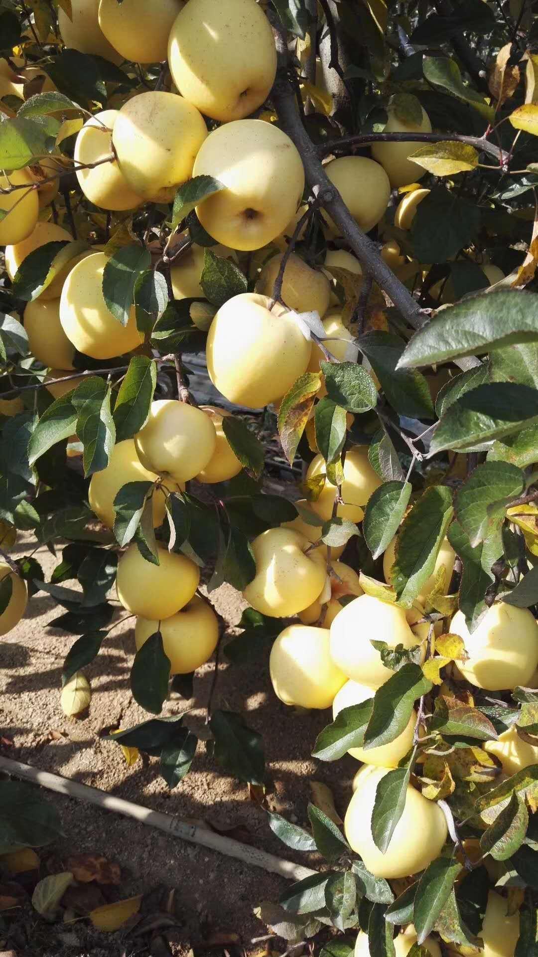 矮化苹果苗价格及基地全国均可发货