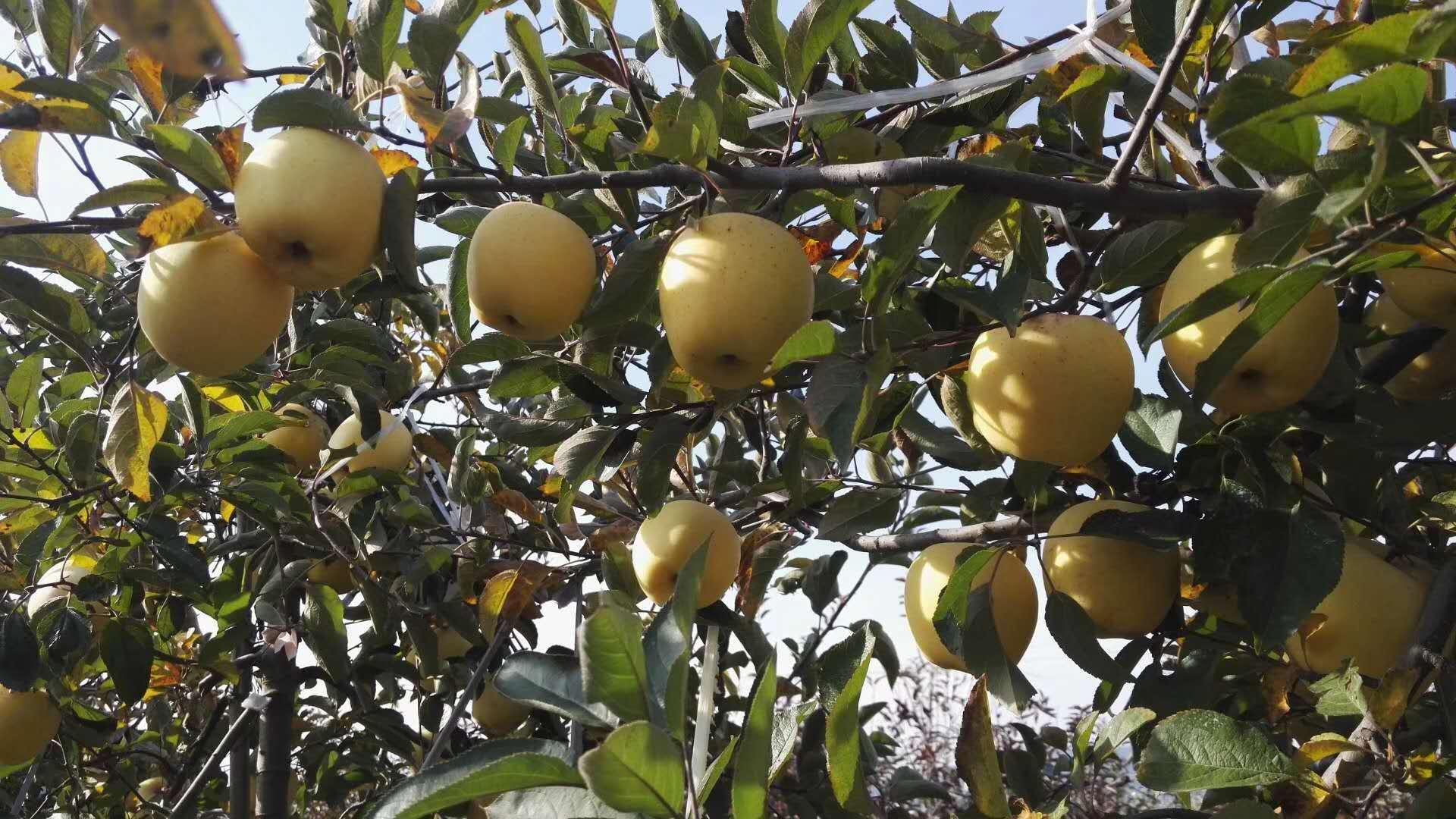 苹果树苗基地价格产品质量保证