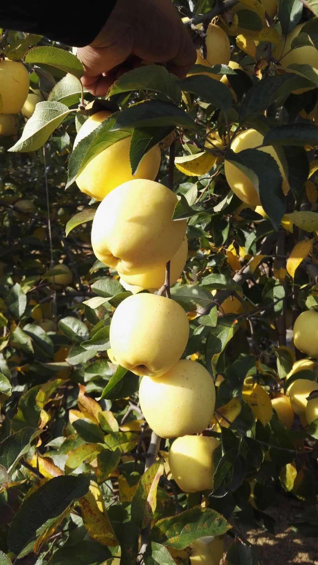 华硕矮化苹果树苗基地价格质量优良