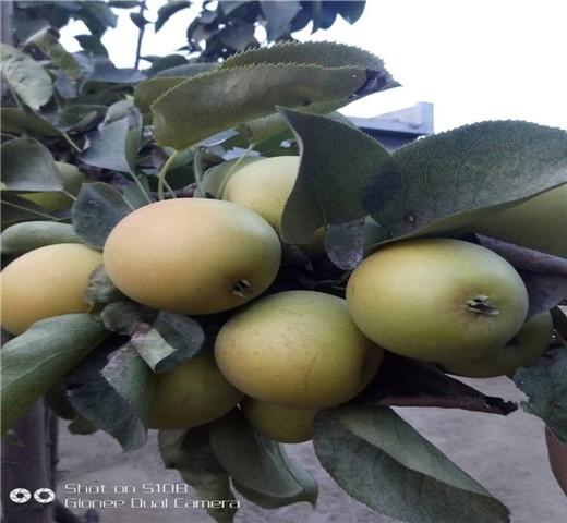 圆黄梨树苗新价格免费提供样品