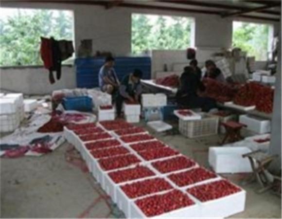矮化樱桃树苗新品种 矮化樱桃树苗价格实在免费咨询