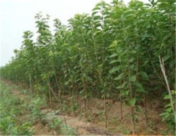 矮化樱桃苗售价多少钱 矮化樱桃苗怎么培育
