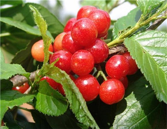 矮化樱桃苗批发价格 矮化樱桃苗技术成熟产量稳定