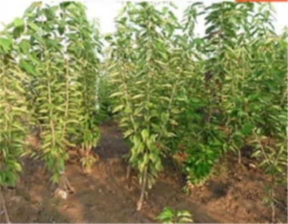 矮化樱桃苗基地价格 矮化樱桃苗技术成熟产量稳定