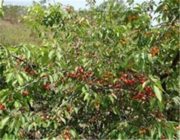 矮化樱桃树苗基地 矮化樱桃树苗产地货源价格优惠