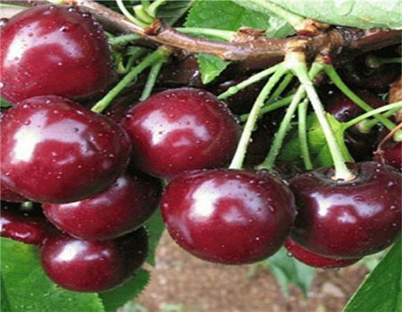 矮化樱桃树苗新品种 矮化樱桃树苗怎么分辨真假
