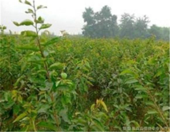 矮化樱桃树苗价格报价 矮化樱桃树苗坐果早产量高