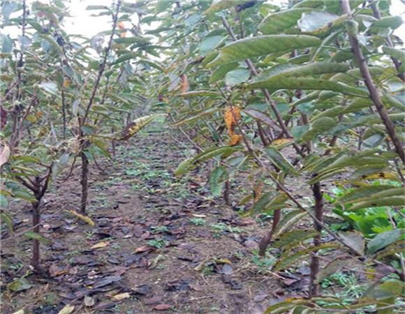 矮化樱桃苗多少钱一棵 矮化樱桃苗规模种植品质保证