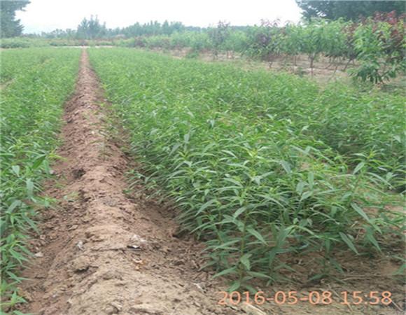 矮化樱桃树苗基地批发 矮化樱桃树苗产地货源价格优惠