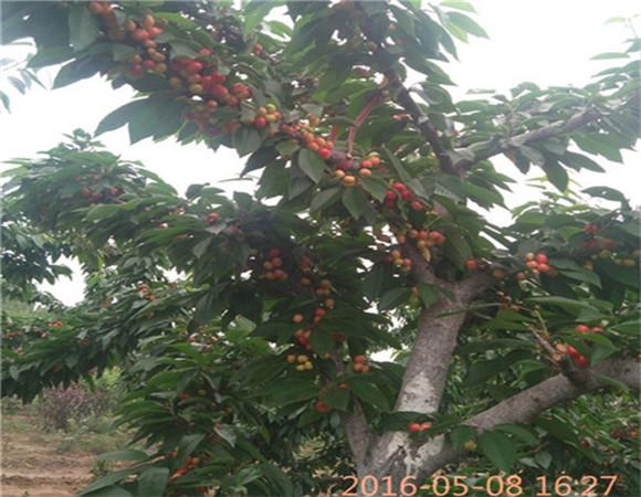 矮化樱桃树苗新品种 矮化樱桃树苗一亩地种多少棵