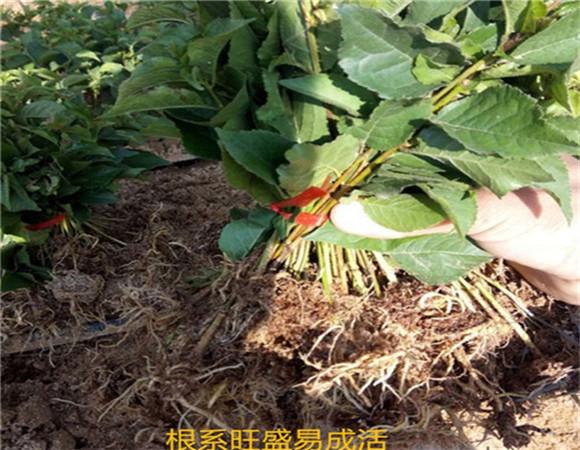 矮化樱桃苗价格表 矮化樱桃苗品种全国均可发货