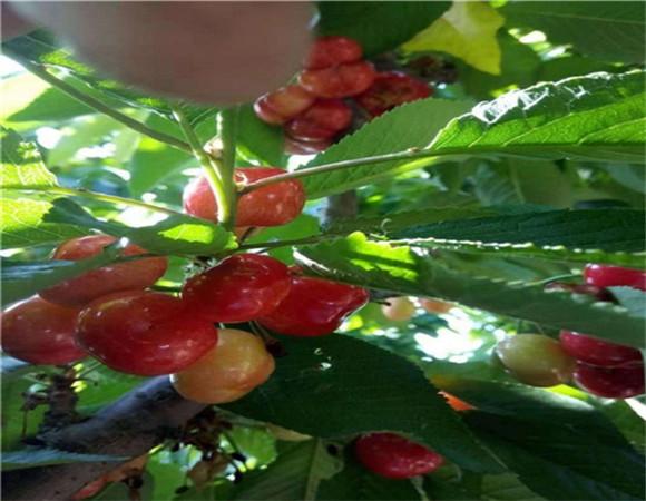矮化樱桃苗批发价格 矮化樱桃苗亩栽多少棵
