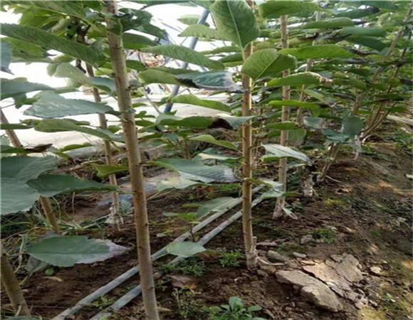 矮化樱桃树苗价格报价 矮化樱桃树苗有什么特点