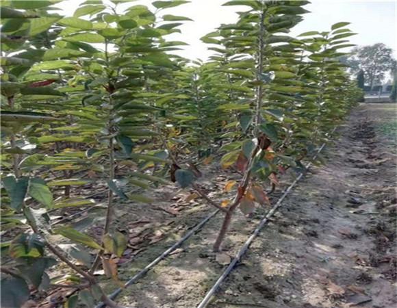 矮化樱桃树苗基地价格 矮化樱桃树苗的培育方法