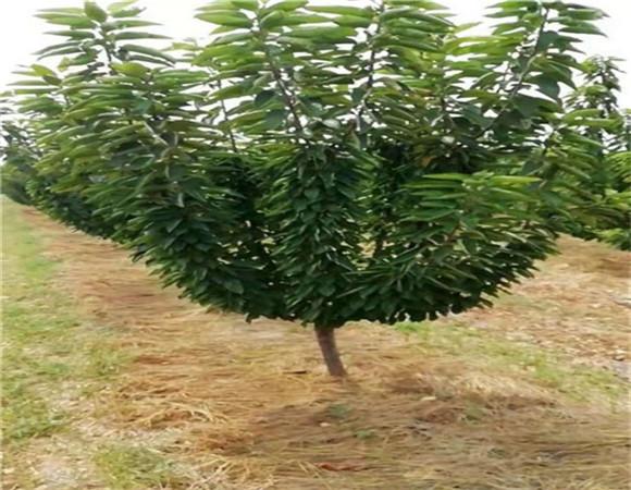 矮化樱桃树苗价格报价 矮化樱桃树苗价格优惠以质取胜