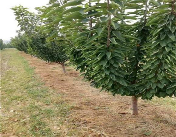 矮化樱桃树苗价格报价 矮化樱桃树苗亩栽多少棵