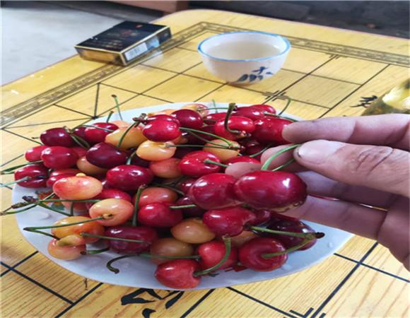 矮化樱桃树苗新品种 矮化樱桃树苗怎么样