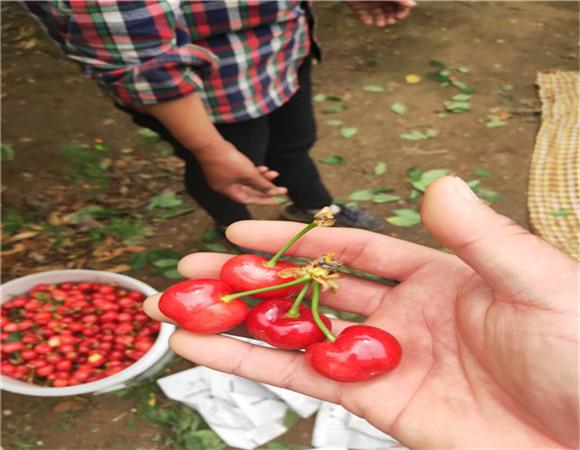 矮化樱桃树苗价格 矮化樱桃树苗坐果早产量高