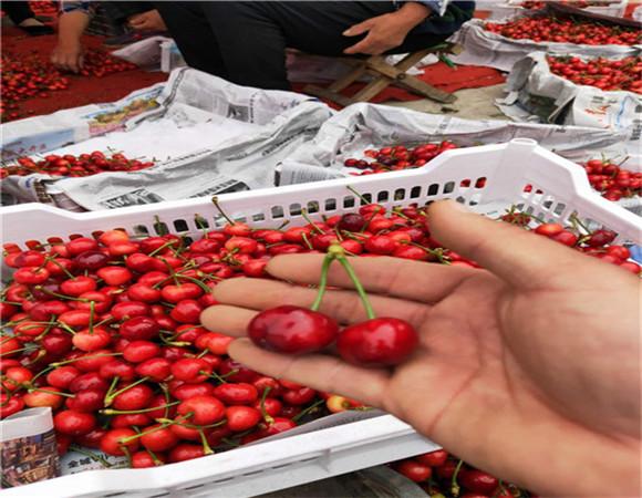 矮化樱桃树苗价格表 矮化樱桃树苗亩栽多少棵
