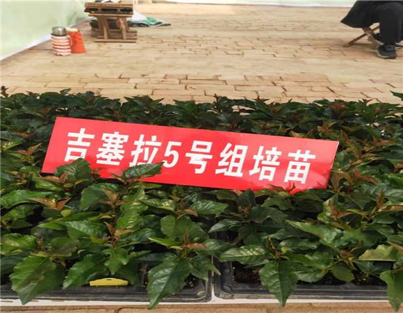 矮化樱桃苗售价多少钱 矮化樱桃苗一亩地种多少棵