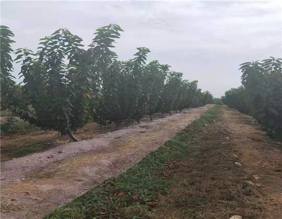 矮化樱桃苗多少钱 矮化樱桃苗价格优惠以质取胜