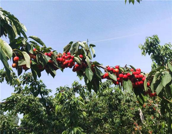 矮化樱桃树苗批发价格 矮化樱桃树苗种植技术