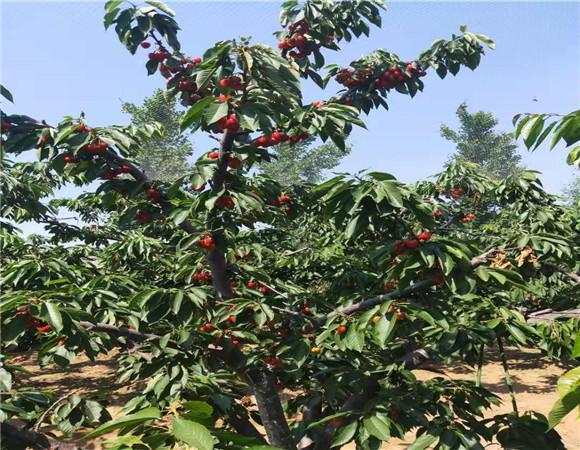 矮化樱桃树苗批发价格 矮化樱桃树苗技术成熟产量稳定