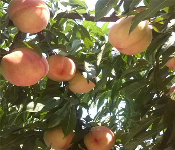 蟠桃树苗多少钱一棵蟠桃树苗的培育方法