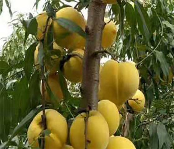 黄桃树苗价格黄桃树苗一亩地种多少棵