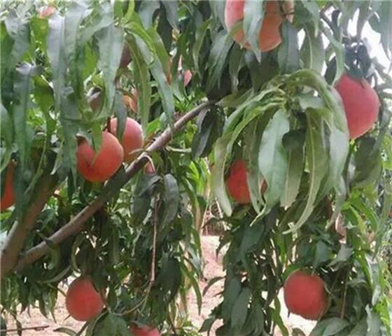 油蟠桃树苗基地批发油蟠桃树苗产地直销保证成活率