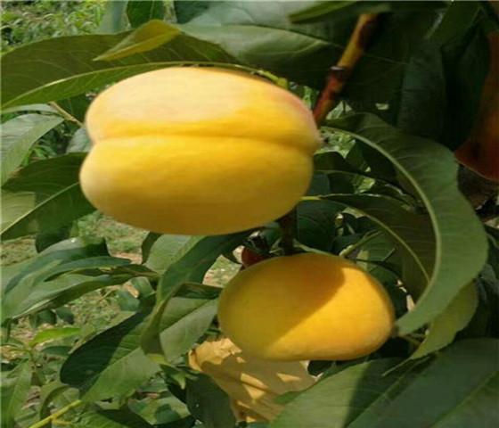蟠桃树苗新品种蟠桃树苗产地直销保证成活率