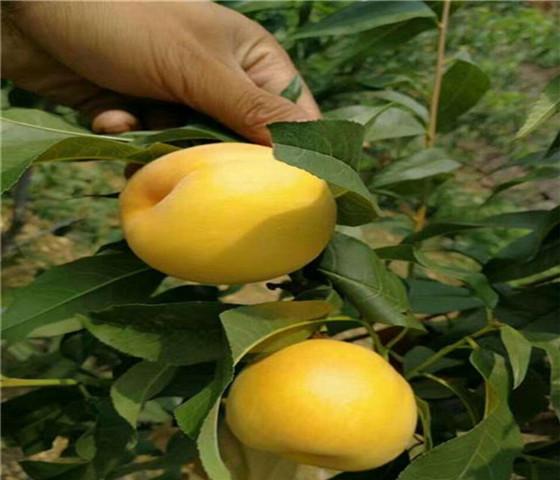 油桃树苗批发价格油桃树苗10元一颗