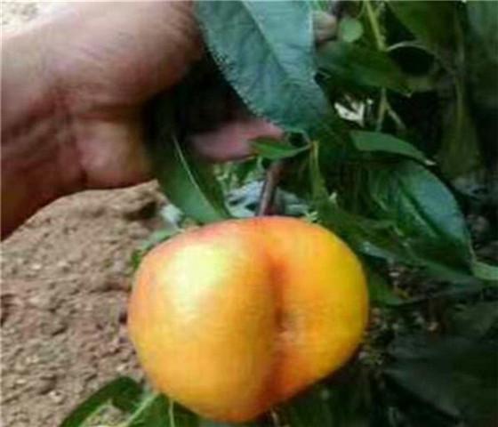 油蟠桃树苗价格表油蟠桃树苗几年才能结果
