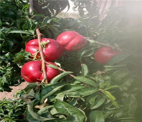 黄桃树苗批发价格黄桃树苗品种全国均可发货