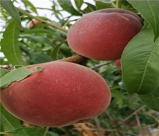 蟠桃树苗价格表蟠桃树苗有什么特点