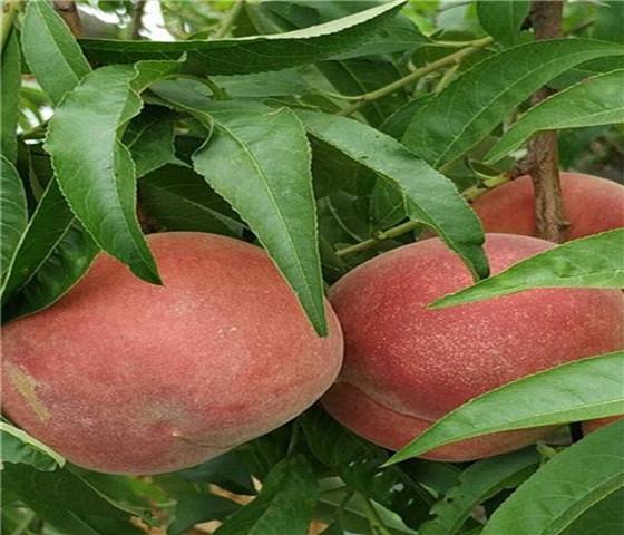 油桃树苗新品种油桃树苗什么时间移栽