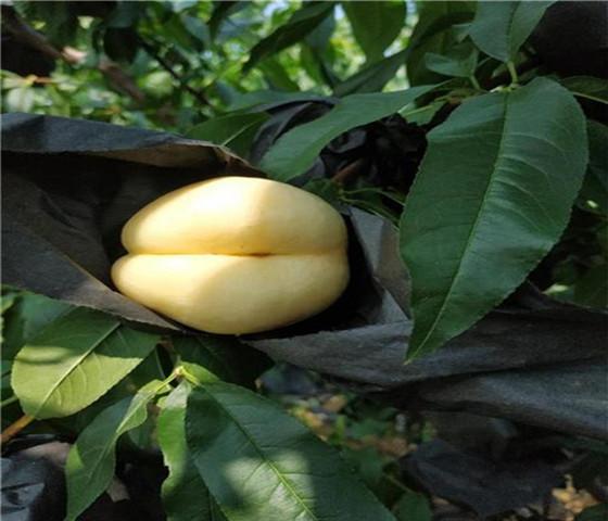 黄桃树苗价格表黄桃树苗基地直接发货