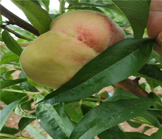 油蟠桃树苗多少钱一棵油蟠桃树苗基地直接发货