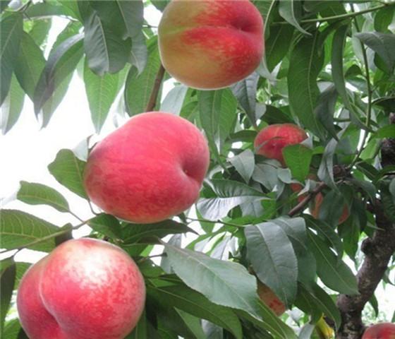 油桃树苗价格表油桃树苗怎么分辨真假