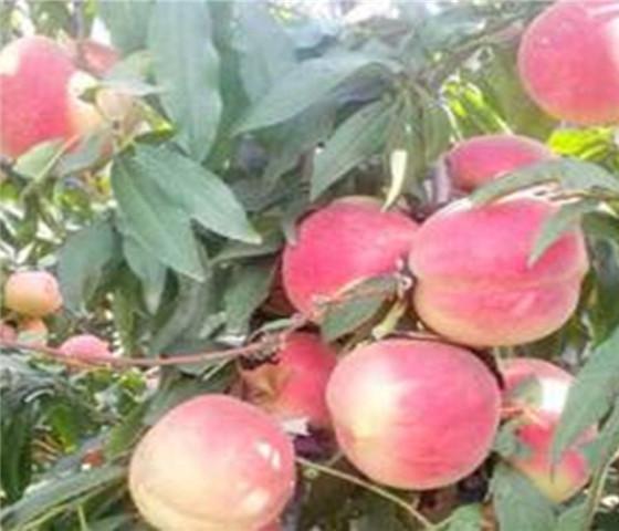 油蟠桃树苗价格报价油蟠桃树苗产地低价销售