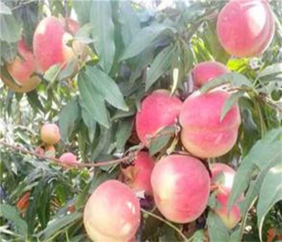 油桃树苗价格表油桃树苗亩栽多少棵