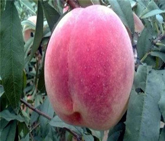 蟠桃树苗多少钱蟠桃树苗价格实在免费咨询