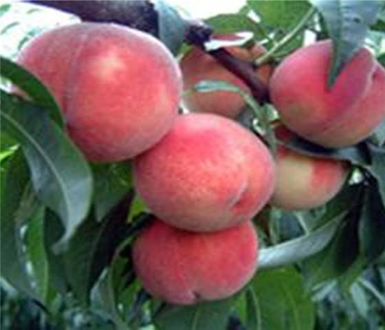 油蟠桃树苗价格油蟠桃树苗品种全国均可发货
