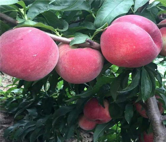 黄桃树苗多少钱一棵黄桃树苗技术成熟产量稳定