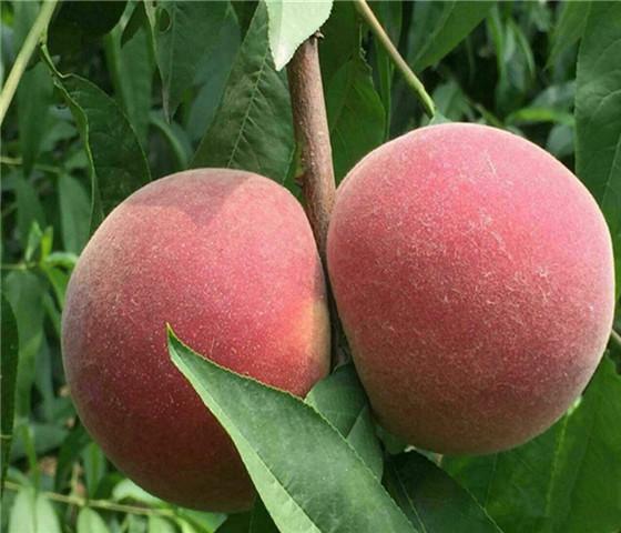 蟠桃树苗售价多少钱蟠桃树苗价格优惠以质取胜