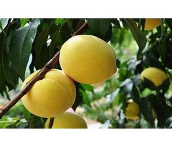 晚熟脆甜油桃树苗价格