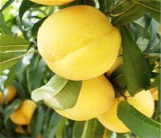 黄桃树苗价格表黄桃树苗规模种植品质保证