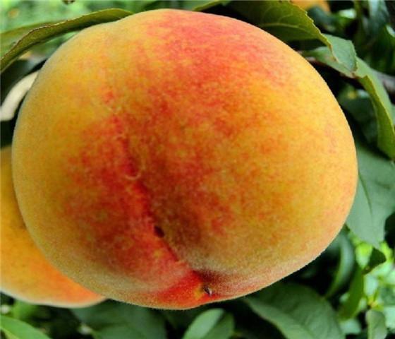 油桃树苗批发价格油桃树苗技术成熟产量稳定